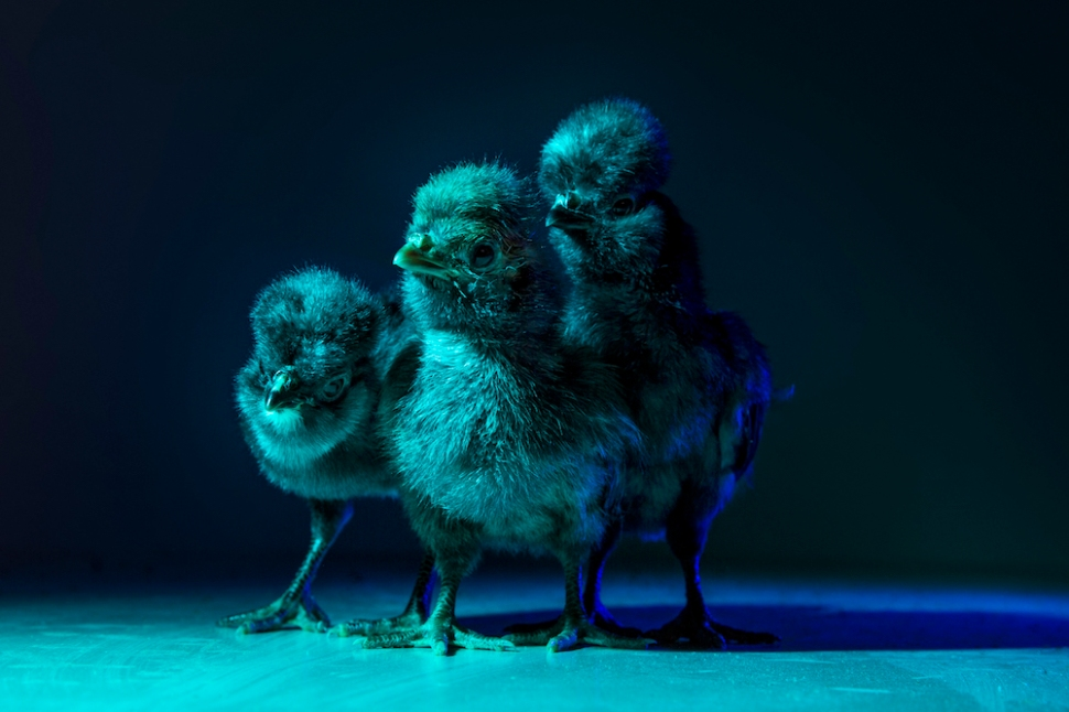 Chic Chicks ©Dan Bannino - Little ones2-Marvin,Joe,Pedro